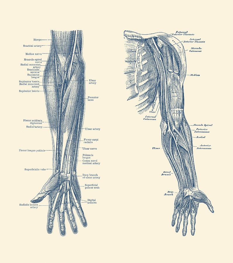Arm And Hand Diagram Dual View Vintage Anatomy Drawing By