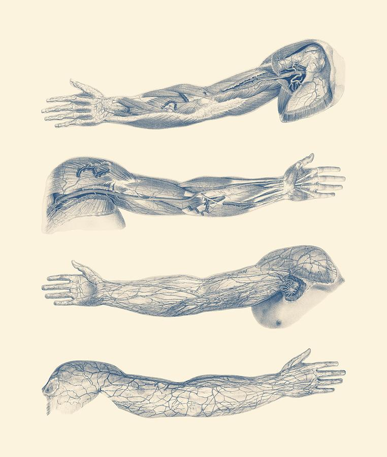 Arm And Hand Diagram - Quad View - Vintage Anatomy Print Drawing by ...