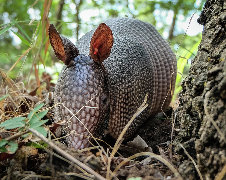 Texas Photograph - Armadillo In The Woods by Chance Kirby