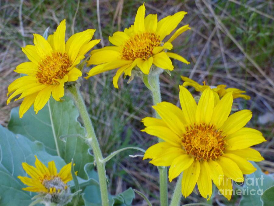 Arrowleaf Balsamroot Flower by Charles Robinson