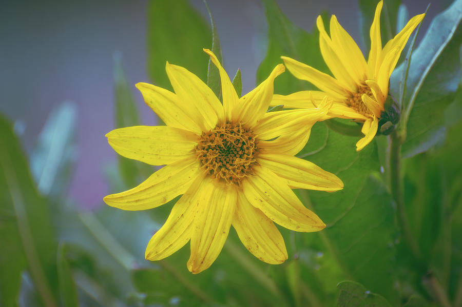 Arrowleaf Balsamroot by Jason Coward