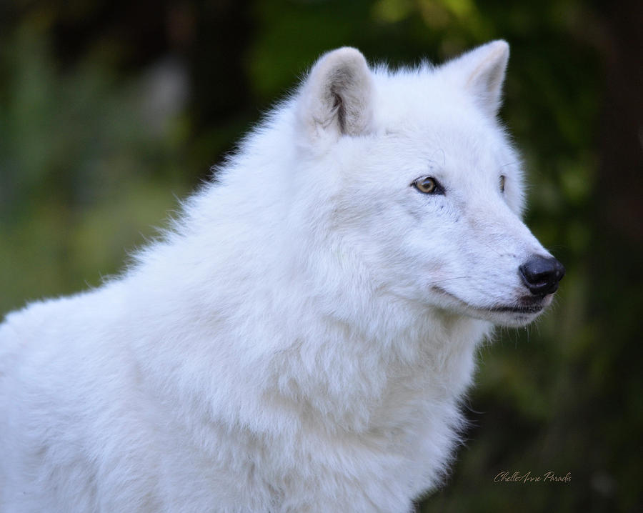 Wolf Photograph - Artic Grey Wolf - Atka from NYWolf.org by ChelleAnne Paradis