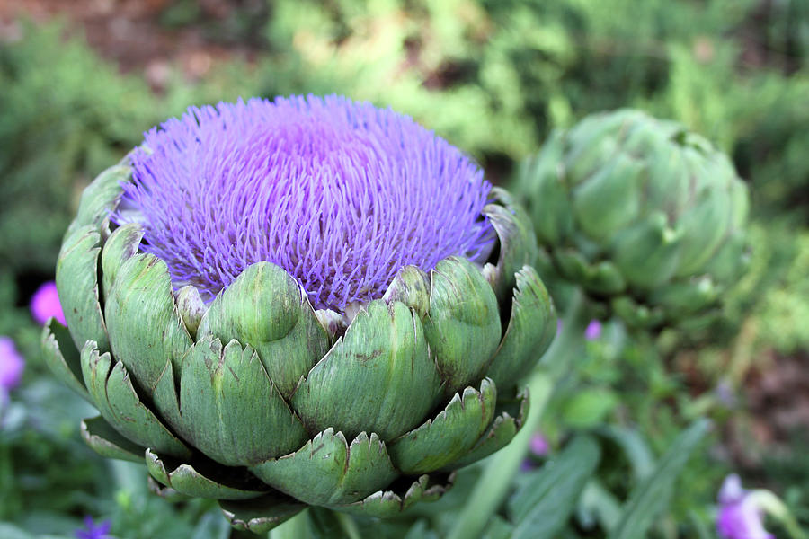 Floral Photograph - Artichoke by Mary Haber
