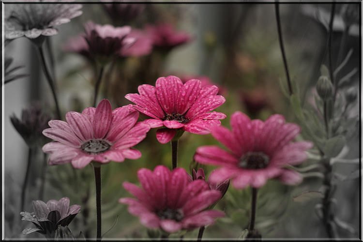 Flowers Photograph - Artistic African Daisy by Eric Moss
