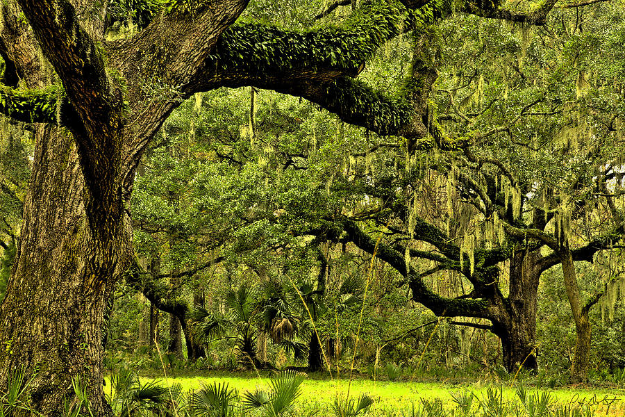 Tree Photograph - Artistic Live Oaks by Phill Doherty