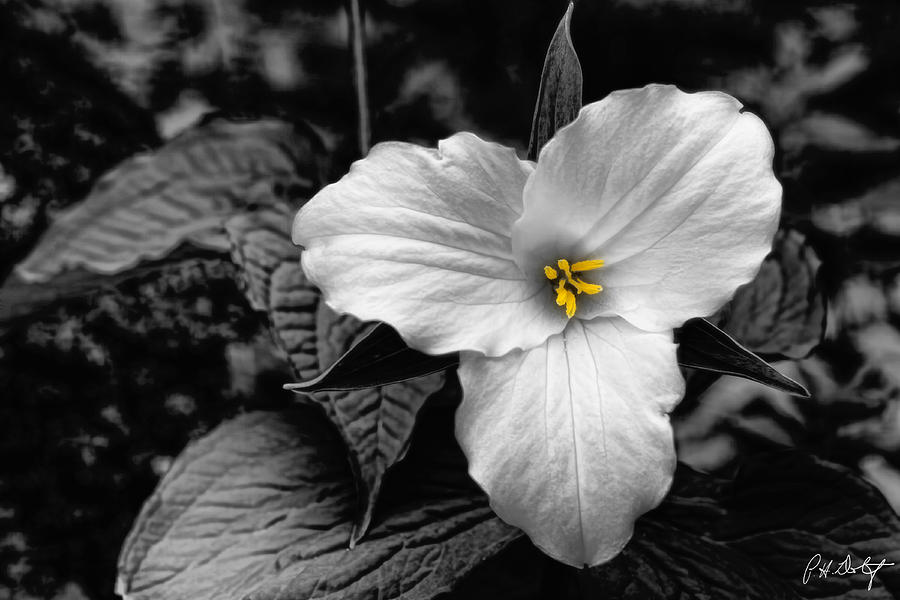 B & W Photograph - Artistic Trillium by Phill Doherty