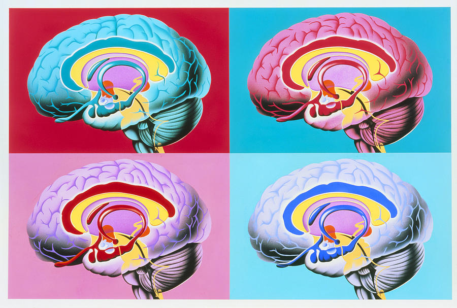 Artworks Showing The Limbic System Of The Brain Photograph ... Limbic System Add