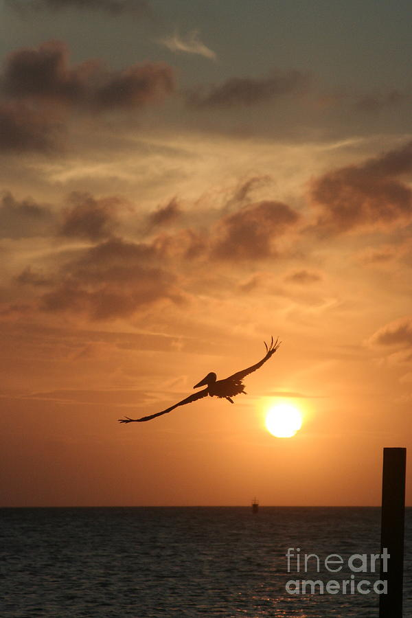 Bird Photograph - Aruba Pelican II by Paula Deutz