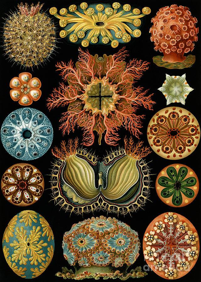Haeckel Painting - Ascidiae by Ernst Haeckel
