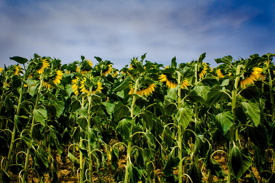 Sunflower Photograph - Ashamed by Filomena Francisco