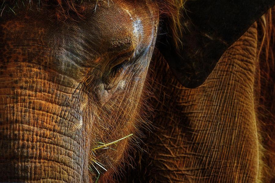 Asian Photograph - Asian Elephant Closeup Portrait by David Gn