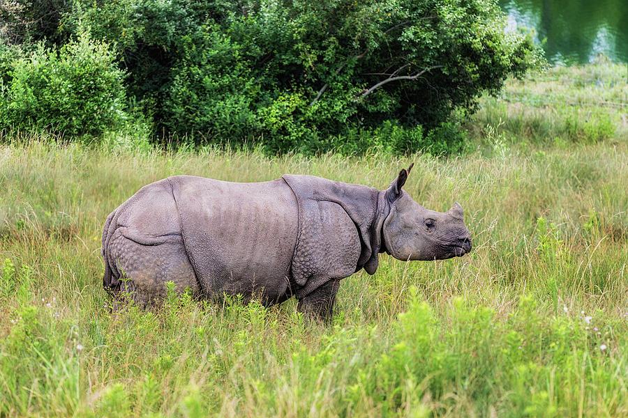 Rhinoceros Photograph - Asian Rhinoceros by Tom Mc Nemar