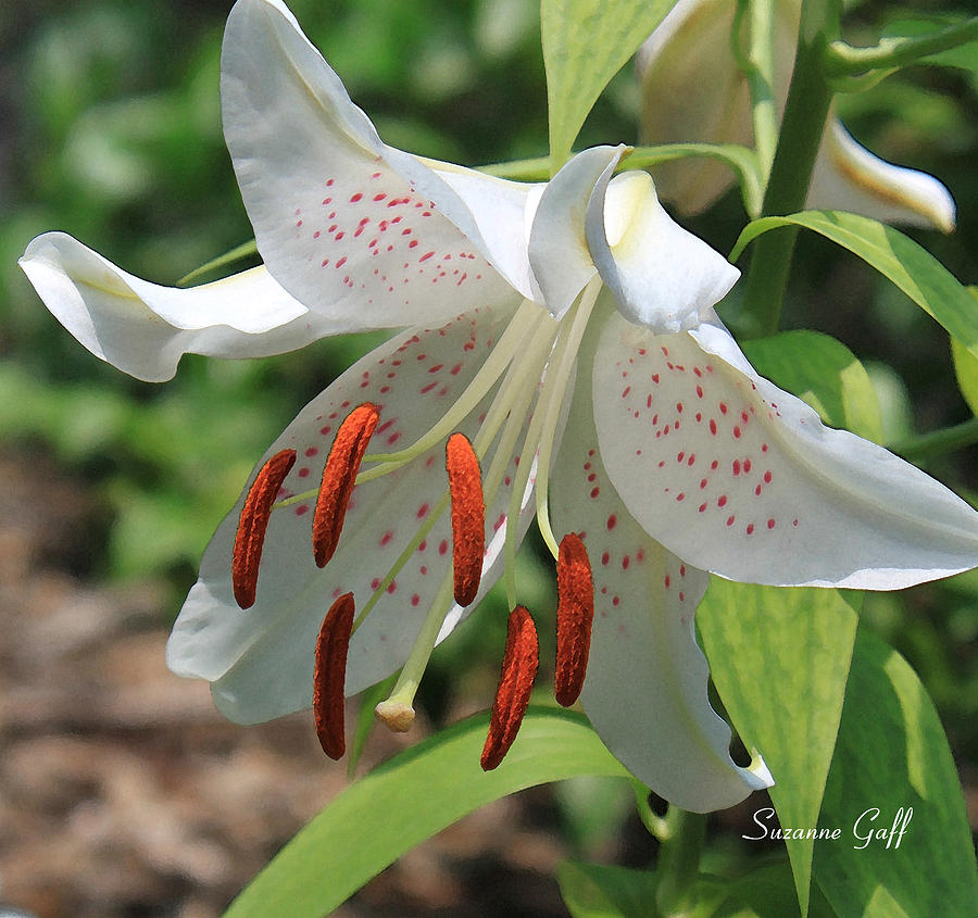 Asiatic Lily Photograph - Asiatic Lily by Suzanne Gaff