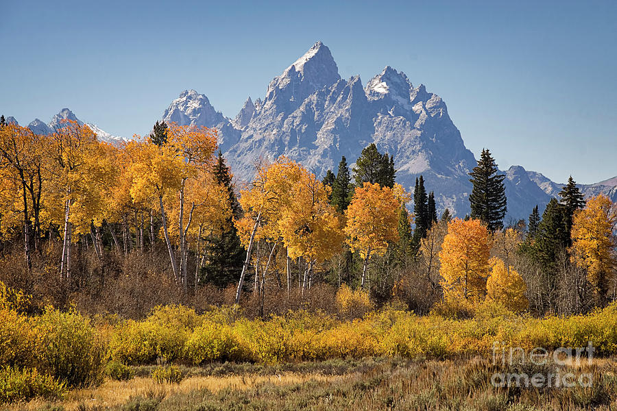 Aspen And The Grand Teton Photograph
