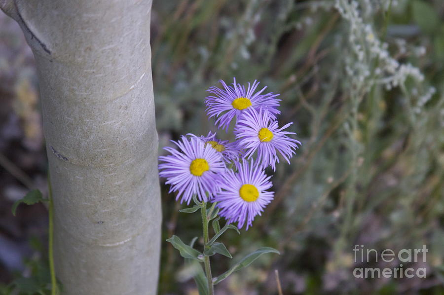 Aspen Asters  Photograph by Michael Shaft
