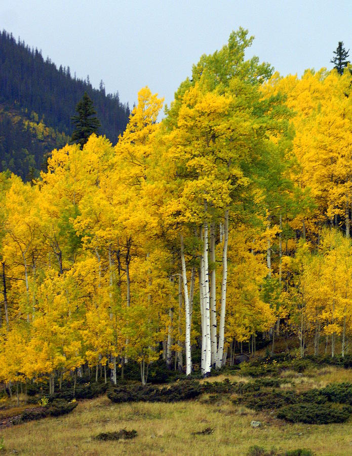 Fall Colors Photograph - Aspen Fall 3 by Marty Koch