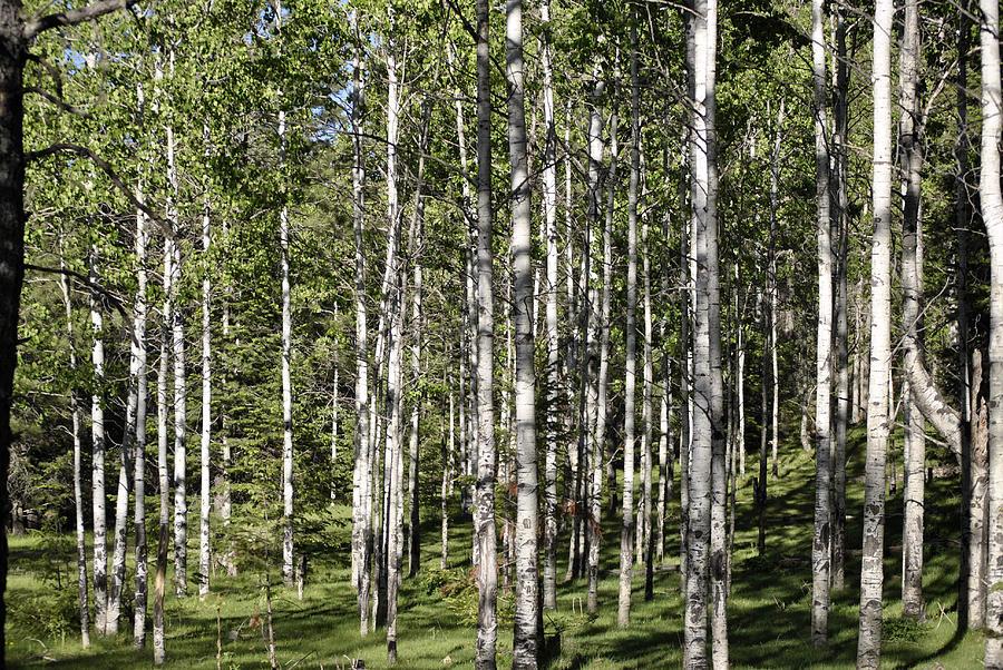 Woods Photograph - Aspen Forest by Jon Rossiter