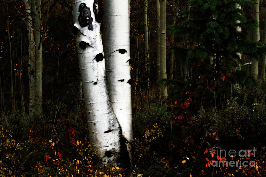 Aspen Ghosts Photograph by Jennie MacDonald