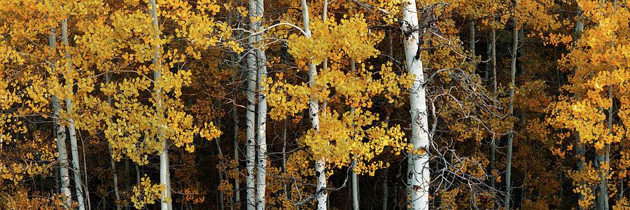 Autumn Photograph - Aspen Gold by Dustin LeFevre