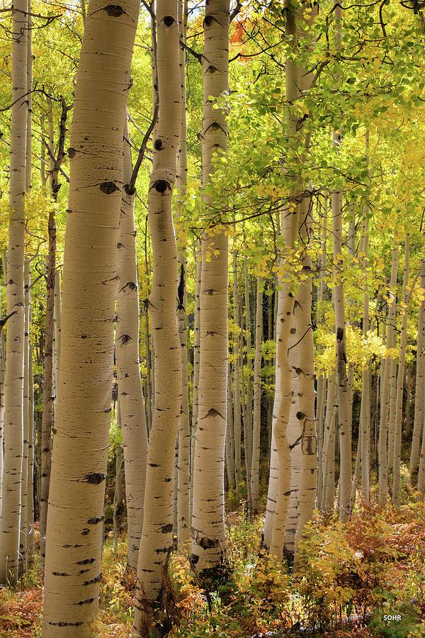 Aspen Grove by Dana Sohr