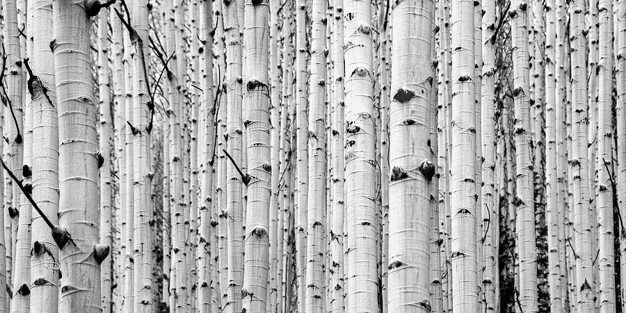 aspen grove by Stephen Holst