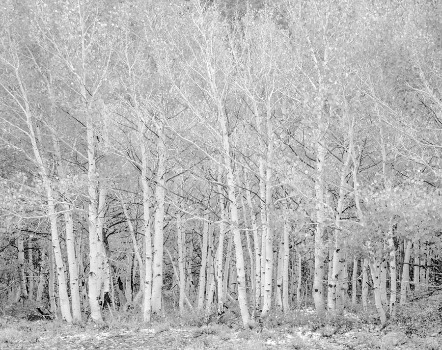 Aspen Photograph - Aspen Grove by Velda Ruddock