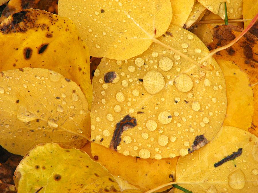 Aspen Photograph - Aspen Leaves by David Kocherhans
