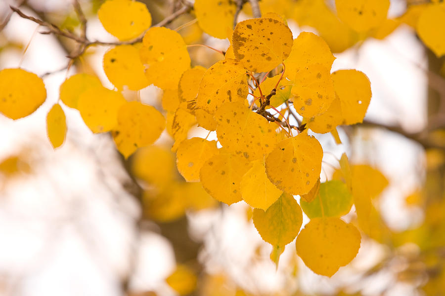 Trees Photograph - Aspen Leaves by James BO  Insogna