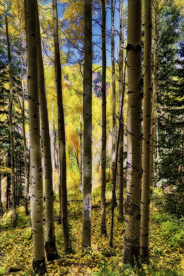 Colorful Colorado Photograph - Aspen Mood - Autumn - Colorful Colorado by Jason Politte
