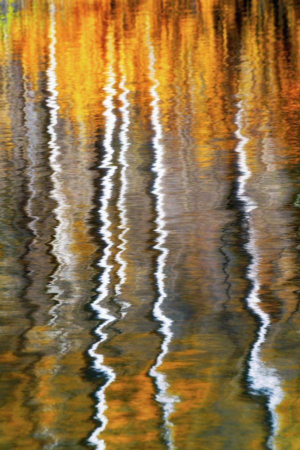 Aspen Ripples Of Gold Photograph
