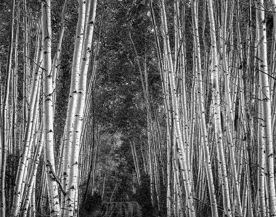 Scenic Photograph - Aspen Stalwarts by Scott Cordell