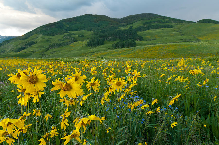 Wildflower Photograph - Aspen Sunflower And Mountain Landscape by Cascade Colors