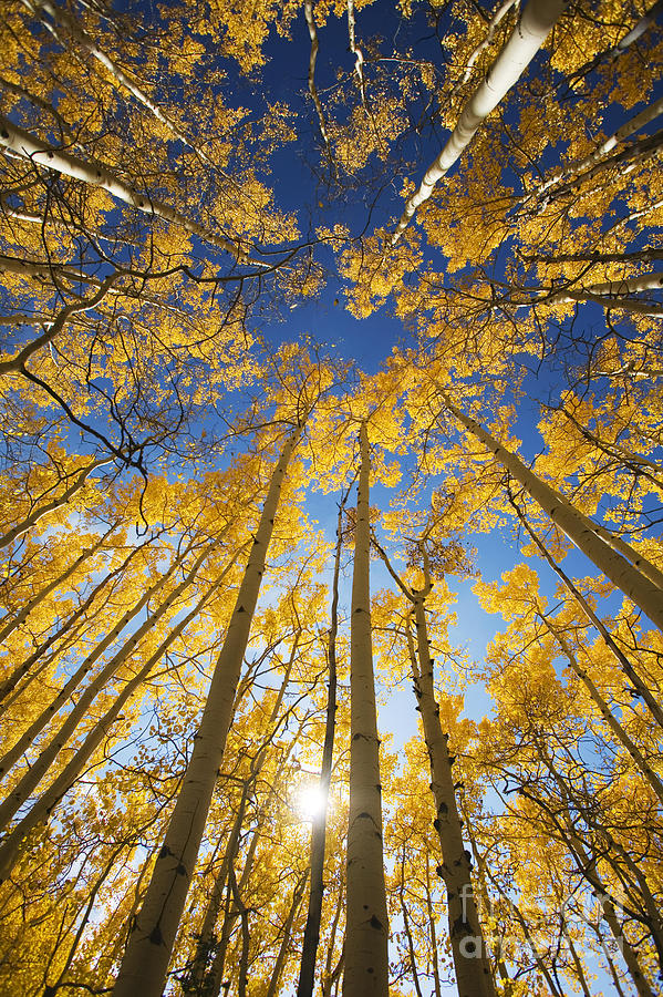 Aspen Tree Canopy 3 Photograph By Ron Dahlquist Printscapes