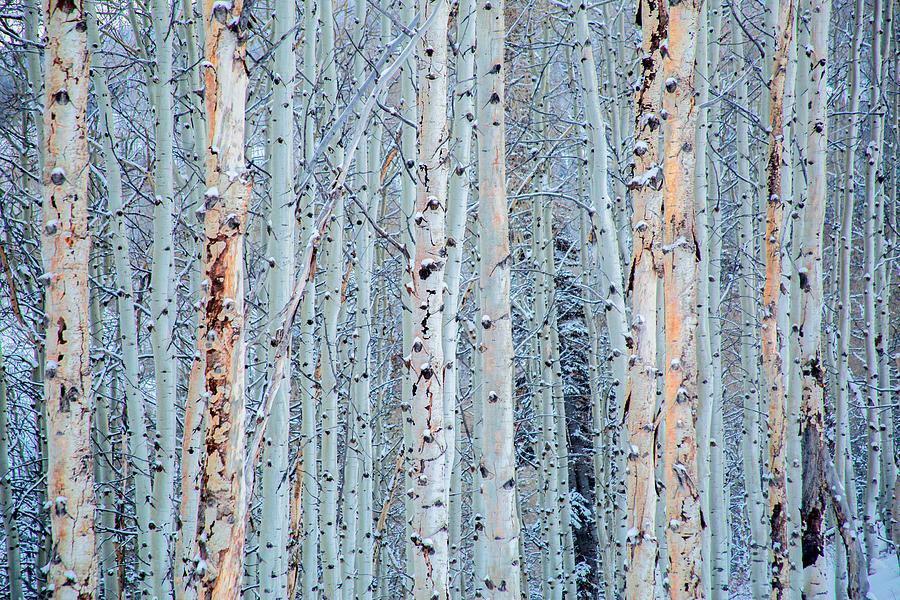Aspen Trees in Snow by Terry Walsh