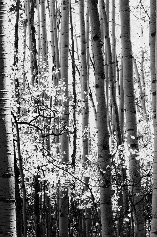 Landscape photograph aspen trees black and white by the forests edge photography diane sandoval