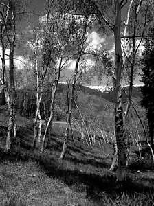 Aspen Trees Photograph - Aspen Trees by William Love