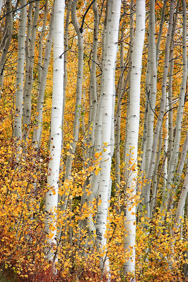 Aspen Photograph - Aspen With Fall Color by Dori Peers