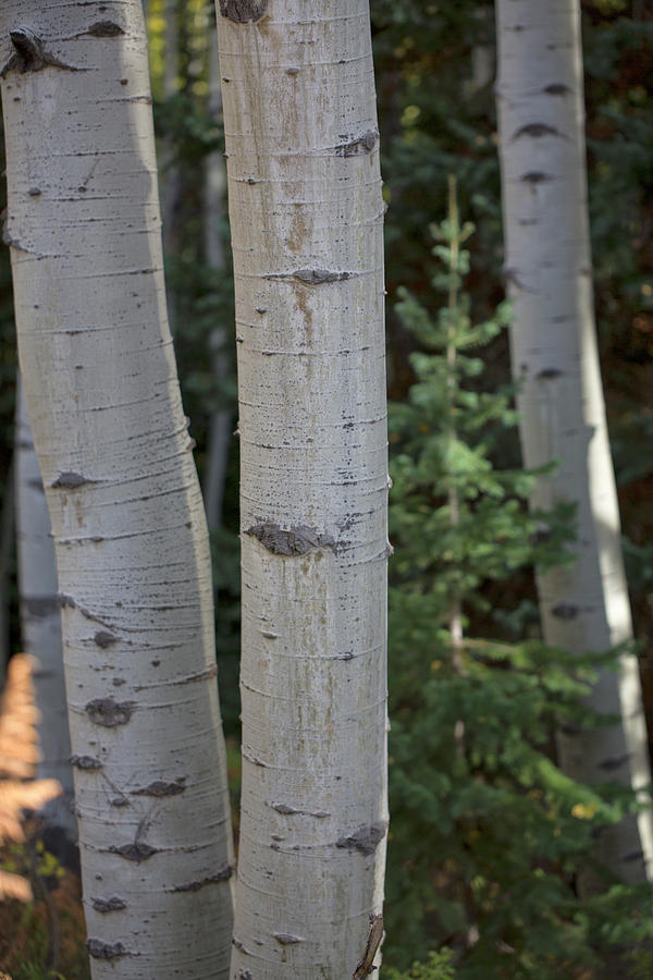 Aspen with Pine by Nancy Dunivin