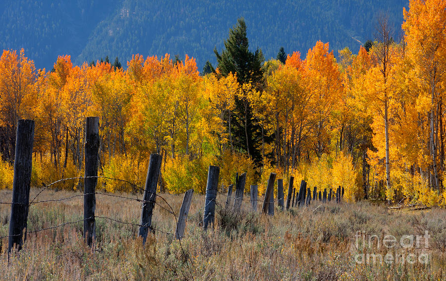 Montana Photograph - Aspens And Fence by Idaho Scenic Images Linda Lantzy