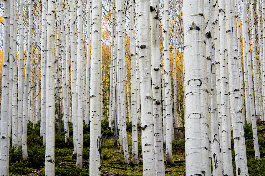 aspens and gold by Stephen Holst