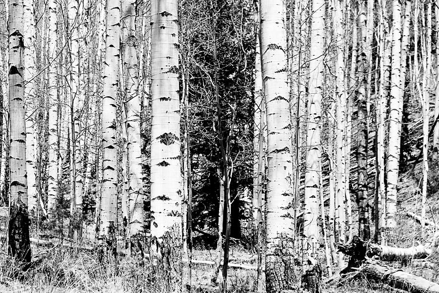 Black And White Photograph - Aspens And The Pine Black And White Fine Art Print by James BO Insogna
