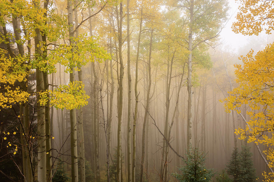 Aspens In Autumn 10 - Santa Fe National Forest New Mexico by Brian Harig