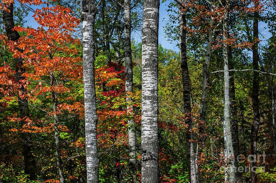 Aspen Photograph - Aspens In Fall Forest by Elena Elisseeva