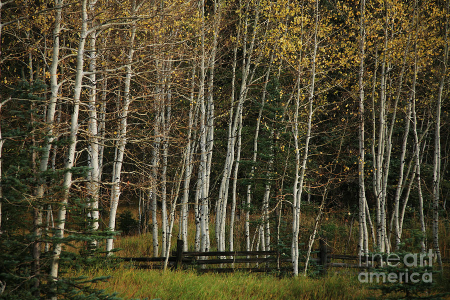 Landscape Photograph - Aspens In The Fall by Timothy Johnson