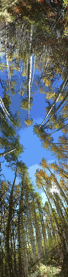 Aspens Photograph - Aspens Looking Up by Jeff Schomay
