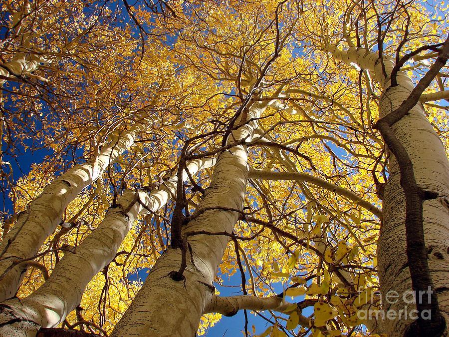 Aspen Tree Fall Colors Photograph - Aspens Reaching  by Scott McGuire