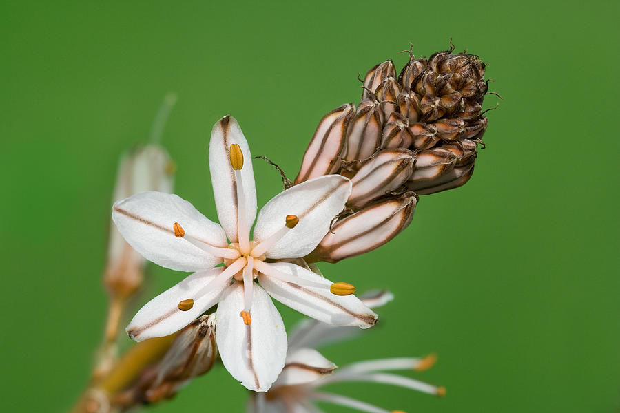 Flower Photograph - Asphodelus Microcarpus by Yuri Peress