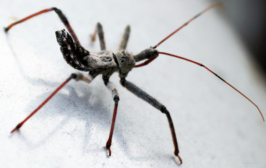 assassin bug by Evelyn Patrick