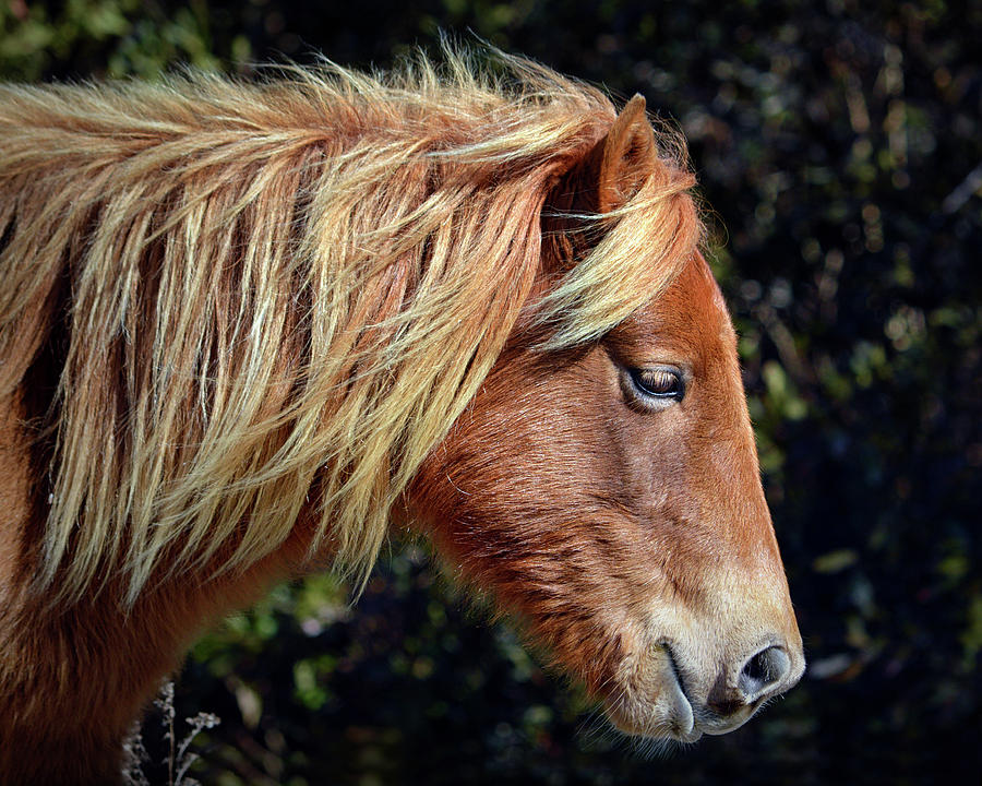 Assateague Horse Sarah's Sweet Tea Right Profile by Assateague Pony Photography
