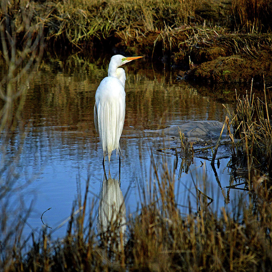 Assateague Island Great Egret Ardea alba by Assateague Pony Photography